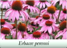 Rugiano martinuzzo alberi arbusti rosai rampicanti piante for Alberi perenni