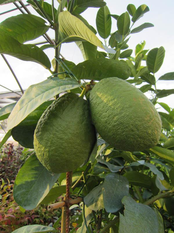 Rugiano martinuzzo vivai e piante prodotti for Vivai piante da frutto